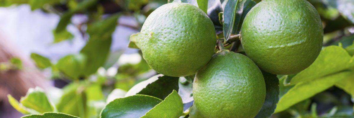 باغ لیمو لودیریا
